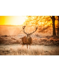 arturas kerdokas, Red Deer in Morning Sun.