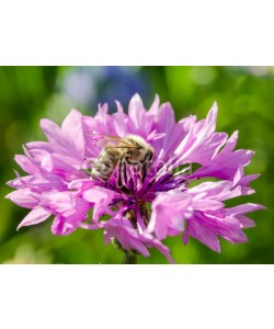 doris oberfrank-list, Lila Kornblume mit Bienen-Besuch :)