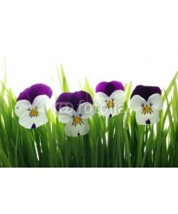 Anette Linnea Rasmus, viola tricolor in green grass