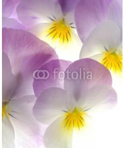 Anette Linnea Rasmus, violet viola tricolor