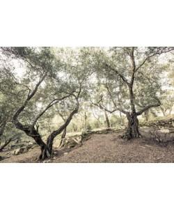 ferkelraggae, alte Olivenbäume