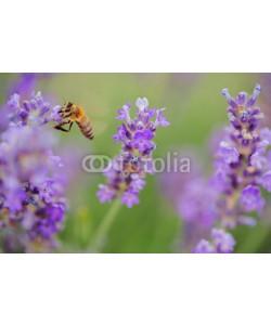 ValentinValkov, Wild bee on Lavender