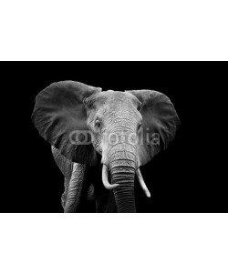 byrdyak, Elephant on dark background