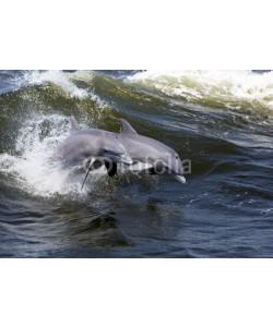 geraldmarella, Two Bottlenose Dolphin (Tursiops truncates)