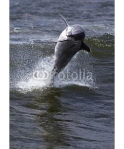 geraldmarella, Bottlenose Dolphin (Tursiops truncates)
