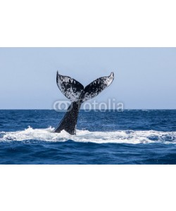ead72, Humpback Whale Fluke