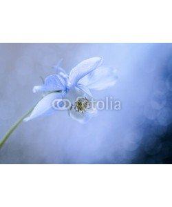 UlrikeAdam, Blau weiße Akelei mit weichem Bokeh