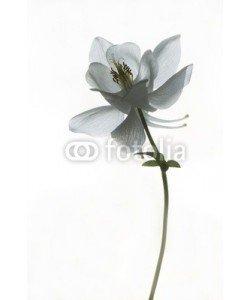 UlrikeAdam, Trauerkarte - weiße Akelei