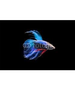nattapan72, Betta fish isolated on black background
