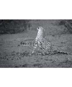 Alta Oosthuizen, Cheetah sit to rest after long hunt to scratch himself