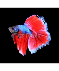 alexzeer, Red and blue siamese fighting fish, betta fish isolated on black