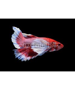 alexzeer, Red and white siamese fighting fish, betta fish isolated on blac