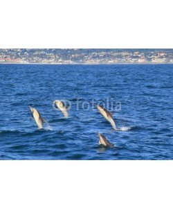 michaelpeak, Four Common Dolphins Jumping Near San Diego