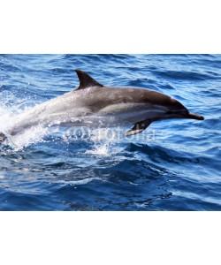 michaelpeak, Pacific Common Dolphin