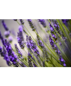 Nailia Schwarz, Beautiful Lavender blooming in early summer