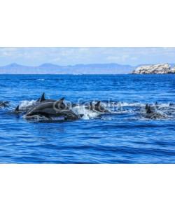 bennymarty, Dolphins jumping in Mexico. Isla Espiritu Santo near La Paz, in Baja California.