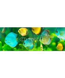 Nitr, colorful tropical discus fish