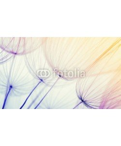 Alekss, dandelion flower background