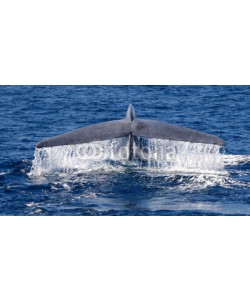 Elizabeth, Blue whale tail