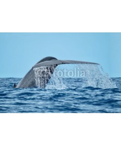 Charlotte, A magnificent blue whale with water streaming from its tail flukes