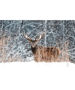 delbars, Lonely noble deer male in winter snow forest. Winter wonderland.