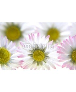 Anette Linnea Rasmus, white spring daisies