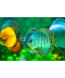 Nitr, tropical fish