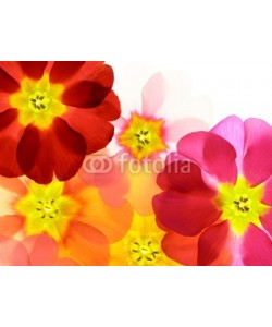 Anette Linnea Rasmus, Close-up of primula flower against white background