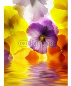 Anette Linnea Rasmus, close-up of colourful viola tricolor against white background