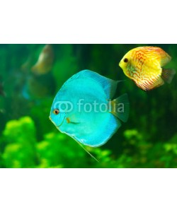 Nitr, tropical fish