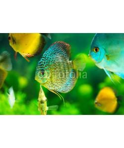 Nitr, tropical fishes