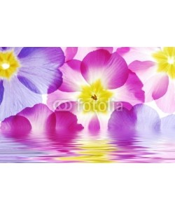 Anette Linnea Rasmus, Close-up of primula flowers reflected in water