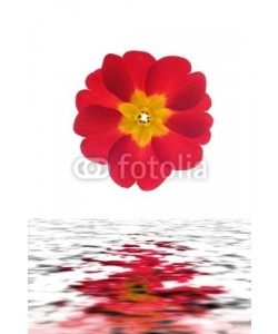 Anette Linnea Rasmus, Close-up of primula flower reflected in water