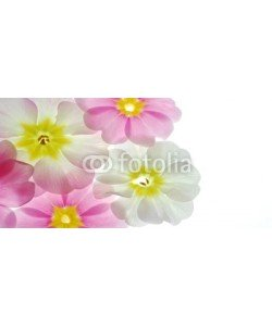 Anette Linnea Rasmus, Close-up of pastel primula flowers against white background