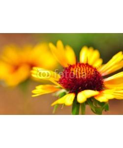 supertramp8, Yellow daisy close up