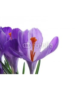 Anette Linnea Rasmus, Close-up of violet spring crocus with transparent petals