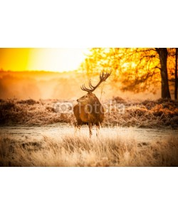 arturas kerdokas, Red Deer in Morning Sun.