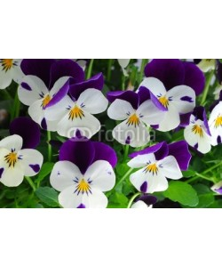 Anette Linnea Rasmus, viola tricolor