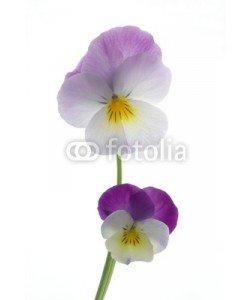 Anette Linnea Rasmus, colourful viola tricolor