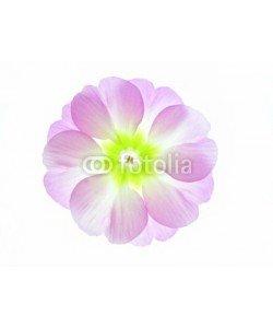 Anette Linnea Rasmus, violet primula