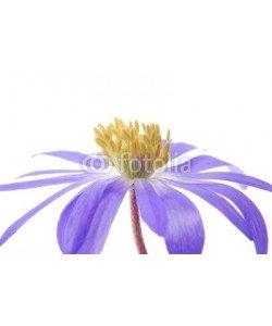 Anette Linnea Rasmus, blue anemone