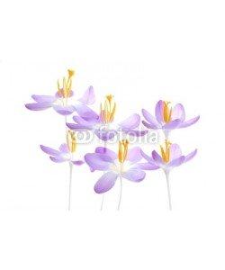 Anette Linnea Rasmus, violet spring crocus
