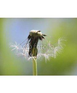 Anette Linnea Rasmus, single dandelion seed