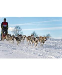 Blickfang, Hundeschlittenrennen Achtergespann