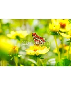 Floydine, Schöner Schmetterling (Araschnia levana) auf gelber Blume