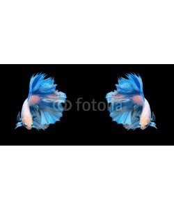 alexzeer, White and blue siamese fighting fish, betta fish isolated on bla