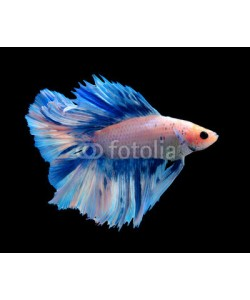 alexzeer, White and blue siamese fighting fish, betta fish isolated on black background.