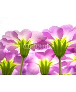 Anette Linnea Rasmus, Close-up of primula flowers against white background