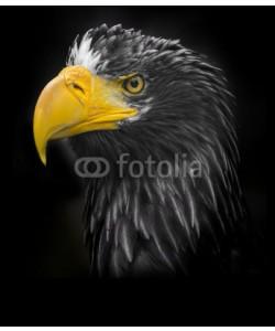 Vera Kuttelvaserova, Steller's sea eagle (Haliaeetus pelagicus)