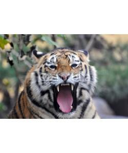 A_Lein, Sibirischer Tiger